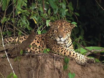 Jaguar in Manu National Park